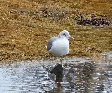 Common (Mew) Gull