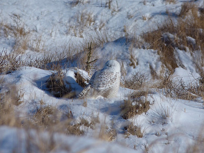 Snowy Owl rear view