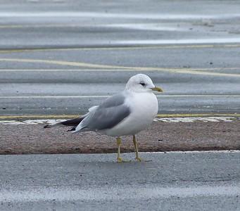 Mew Gull (Eurasian subspecies Common Gull)