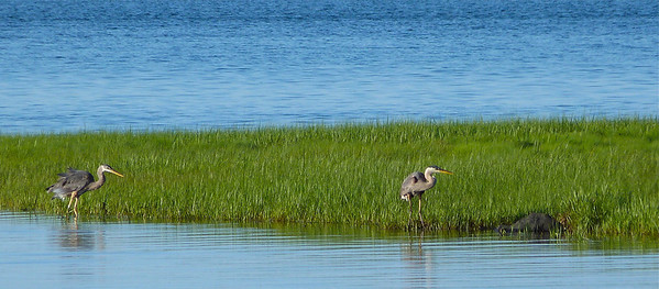 Great-blue Herons, one-year bird left, adult right.