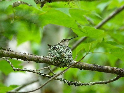 Ruby-throated Hummingbird on her nest