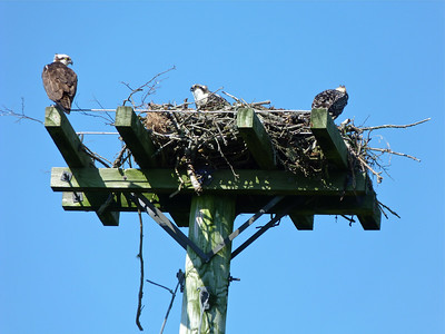 Osprey, one adult on left, two young