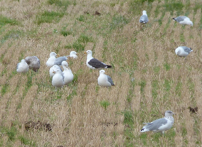 Lesser Black-backed Gull with Herring Gulls