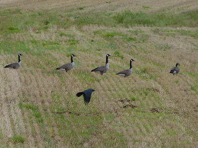 Canada Geese with American Crow