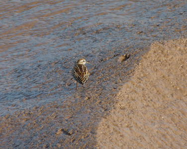 Least Sandpiper, showing the beautiful back