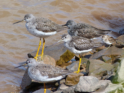 Greater Yellowlegs (nice plumage variation) and Least Sandpiper