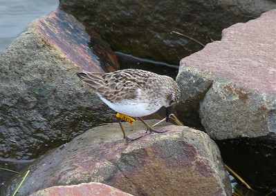 Semipalmated Sandpiper with a yellow flag & a blue band, marked on January 23, 2011 at a rice plantation in western French Guiana, photo taken July 24, 2012 at N. Grand Pre, Nova Scotia