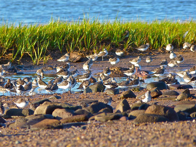 Red-necked Phalarope juvenile: what you might have seen in your binoculars, at the best