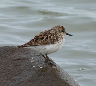 Semipalmated Sandpiper late breeding plumage