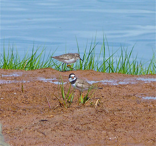 Semipalmated Sandpiper with a yellow flag & a blue band, marked on January 23, 2011 at a rice plantation in western French Guiana, photo taken July 20, 2012 at N. Grand Pre, Nova Scotia