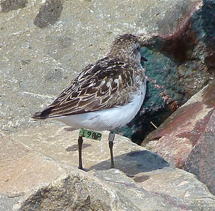 Semipalmated Sandpiper with a green flag, marked May 27, 2012 on Delaware Bay, NJ, photo taken August 3, 2012 at N. Grand Pre, Nova Scotia