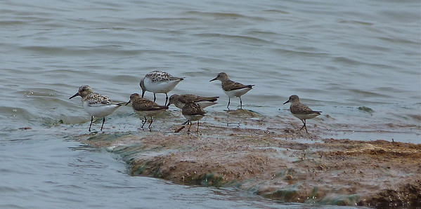 Sanderling, far left and upper left, in partial breeding plumage.