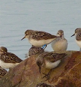 Semipalmated Sandpiper with a blue flag, (probably) marked on January 23, 2012 at  Coroa dos Ovos, state of Maranhão, Brazil photo taken July 27, 2012 at N. Grand Pre, Nova Scotia