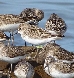Semipalmated Sandpiper with a green flag, marked on Delaware Bay, NJ, May 25, 2012, photo taken July 23, 2012 at N. Grand Pre, Nova Scotia