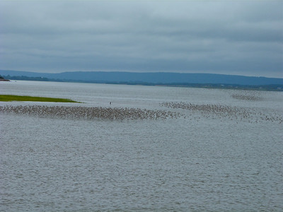 Semipalmated Sandpipers, almost entirely