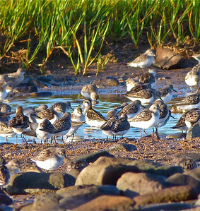 Red-necked Phalarope juvenile, centre, among Semipalmated Sandpipers