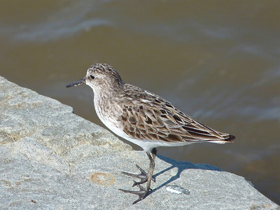 Semipalmated Sandpiper, note palmation between the toes