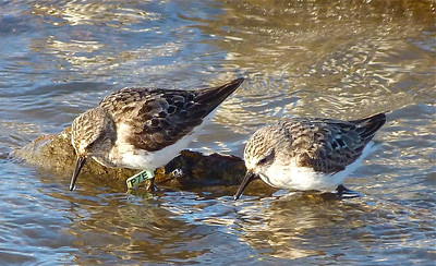 Semipalmated Sandpiper with a green flag, marked in Delaware Bay, NJ on May 27, 2011, photo taken July 26, 2012 at N. Grand Pre, Nova Scotia