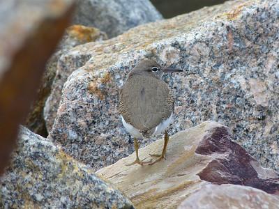 Spotted Sandpiper juvenile