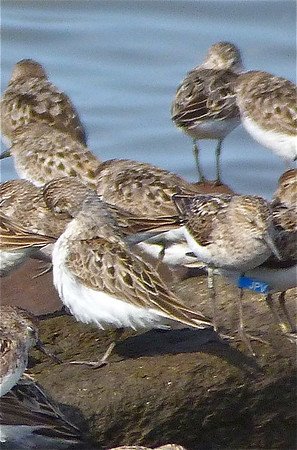 Semipalmated Sandpiper with a blue flag marked on January 26, 2012 at  Coroa dos Ovos, state of Maranhão, Brazil, photo taken July 23, 2012 at N. Grand Pre, Nova Scotia