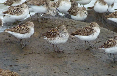 White-rumped Sandpiper in centre, worn breeding plumage, with Semipalmated Sandpipers all around
