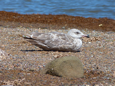Herring Gull second-cycle (?)