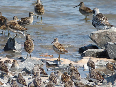 Short-billed Dowitcher with minimal pigment