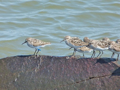 Semipalmated Sandpiper with a blue flag marked on January 23, 2012 at  Coroa dos Ovos, state of Maranhão, Brazil, photo taken July 20, 2013 at N. Grand Pre, Nova Scotia
