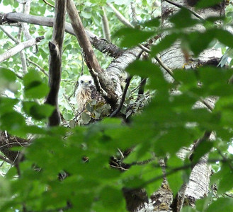 Broad-winged Hawk juvenile in nest