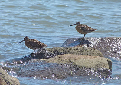 Short-billed Dowitcher, subspecies griseus on left, subspecies hendersoni on right. ID confirmed by Susann Myers & Ian McLaren, both at Dalhousie Univ.
