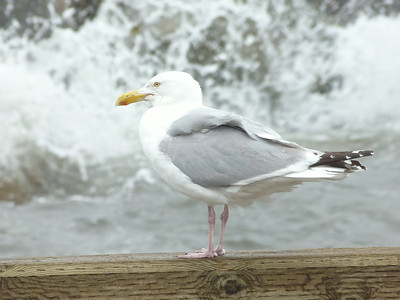 Herring Gull eight seconds later during Hurricane Arthur