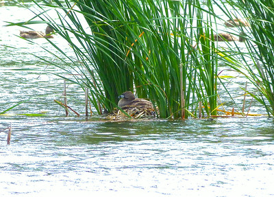 Pied-billed Grebe on nest (viewed from a public viewing area on dry land)