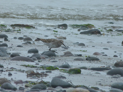 White-rumped Sandpiper, in the fog