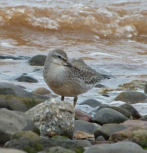 Red Knot juvenile