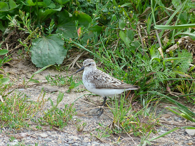 Semipalmated Sandpiper adult transitional