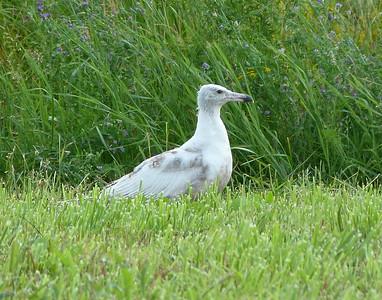 Bleached Herring (?) Gull