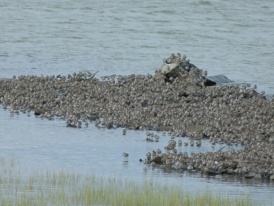 Semipalmated Sandpipers, and a few other peeps.