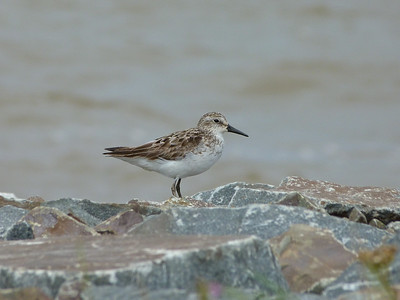 Semipalmated Sandpiper adult transitional, slightly long bill