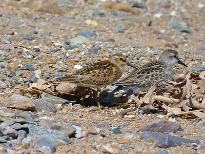 Least Sandpiper juvenile, towards the buffy and rufous extreme, compared to a Semipalmated Sandpiper juvenile.
