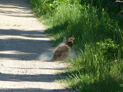 Ruffed Grouse having a dust bath