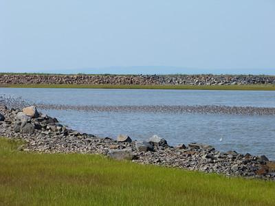 Semipalmated Sandpiper flock