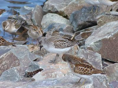 Semipalmated Sandpiper juvenile