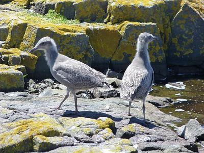 Herring Gull juveniles