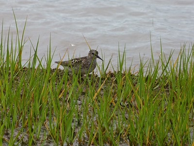 Least Sandpiper adult