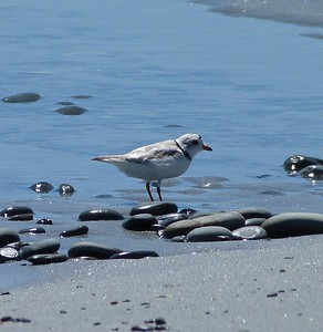 Piping Plover with leg flag XE