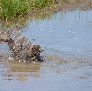 European Starling juvenile bathing