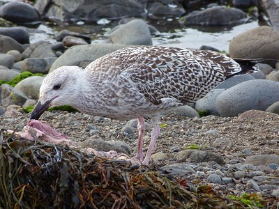 Great Black-backed Gull juvenile