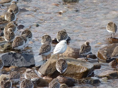 Pure White Sandpiper, believed Semipalmated Sandpiper