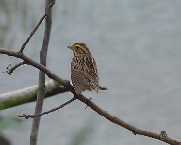 Savannah Sparrow just taking flight