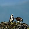 Ospreys with chicks